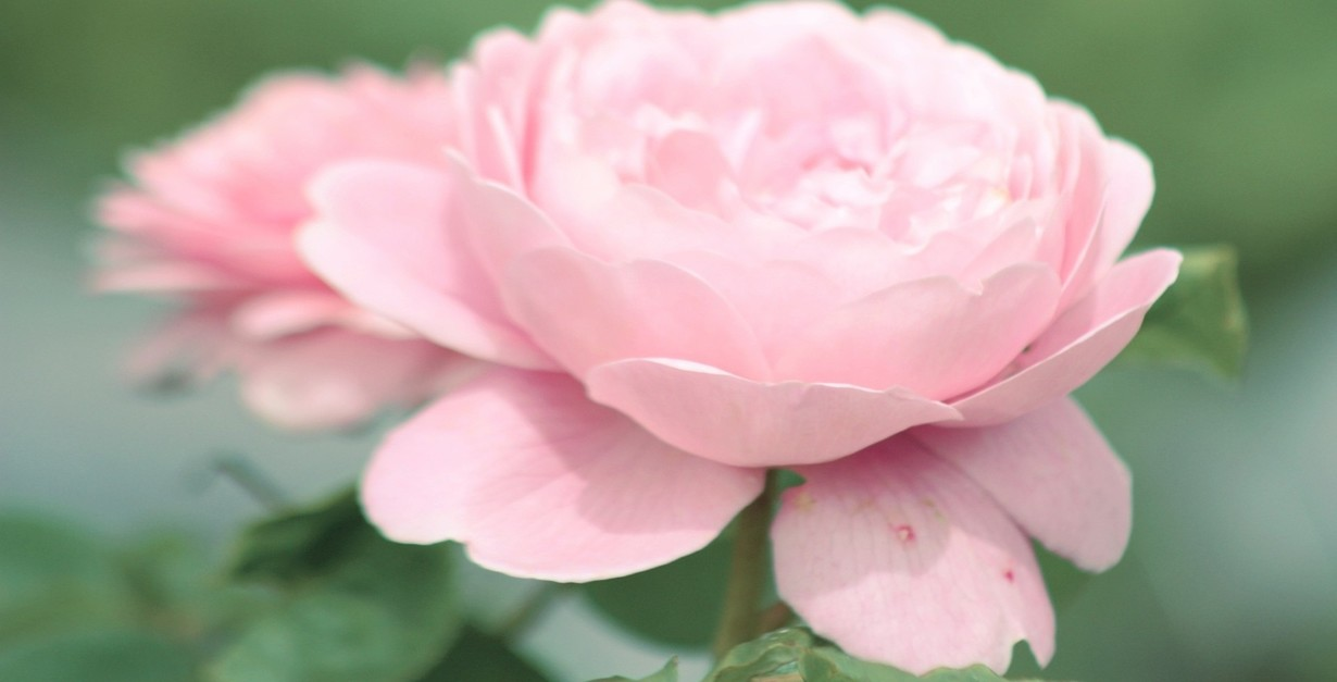 Petal pink flower delicate rose baby soft flowers wallpapers in 3d petal pink flower delicate rose baby soft flowers wallpapers in 3d mightylinksfo