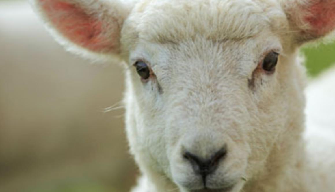 Lambing Festival